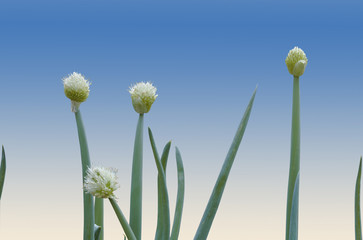 White Flowers and Green Leaves of the Scallion Plant