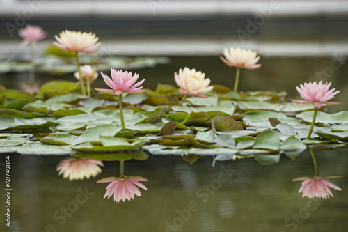 Fotobehang Water planten Water Lily flower reflection on water