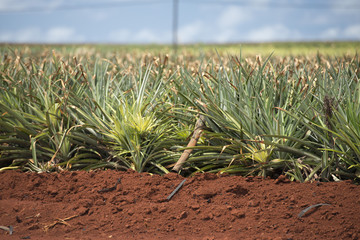 pineapple plantation in hawaii