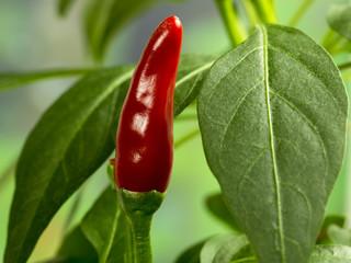 Piment rouge sur sa plante