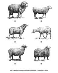 Moutons Brebis Béliers