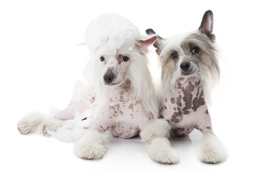Two Hairless Chinese Crested dogs over white