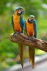 blue macaw parrots