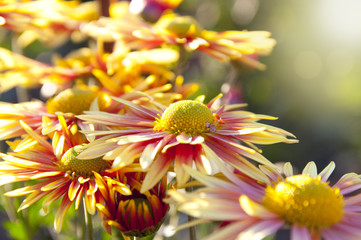 Colorful autumn chrysanthemum