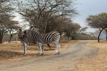 Zebras African Reserve 2