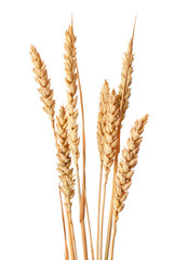 Wheat ears isolated on white backgrounds