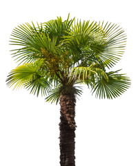 green small palm tree isolated on white