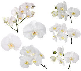 set of large white orchid flowers