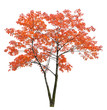 bright red isolated maple tree