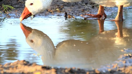 Gans spiegelt sich im Wasser