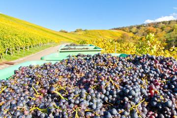 Weinlese - Transportbehälter mit Weintrauben