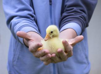 little duck in man's hands