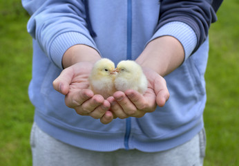Two little chickens in man's hands