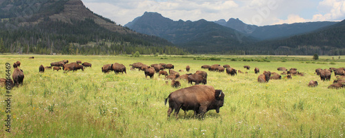 Staande foto Buffel Bisons - Yellowstone National Park