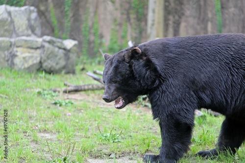 ニホンツキノワグマ  -Japanese Black Bear -