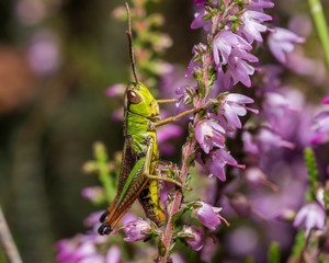 Grasshopper on pink flower