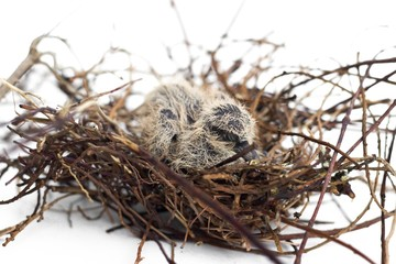 The squabs in the nest