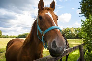 Horse (animal head)