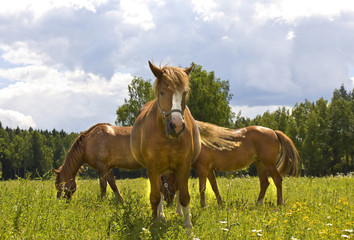Three brown horses on meadow