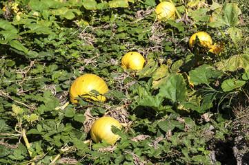 Organic pumpkins in rural vegetable garden in sunny day