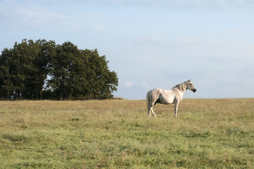 Lonely spotted horse on blue sky background
