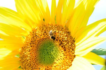 Biene auf einer Sonnenblume