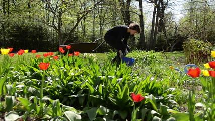 girl work in garden between yellow and red color tulip flowers