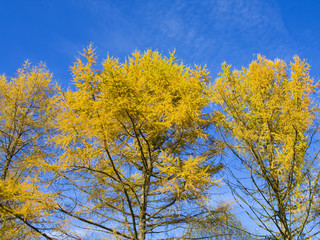 Branches of larches in autumn