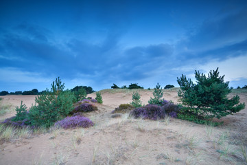 pine trees and heather on sand dunes