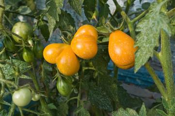 Organic yellow heart shape Cherry tomatoes in the garden