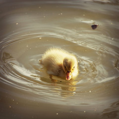 One yellow duckling