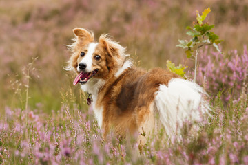Collie in Heide