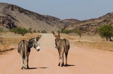 Donkeys block the road, Namibia