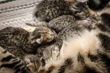 cat lying and feeds the kittens