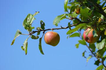 roter Apfel am Baum vor blauem Himmel