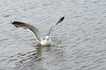 Чайка в водоеме