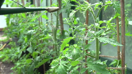 Slow Motion Sequence Of Watering Tomatoes In Greenhouse