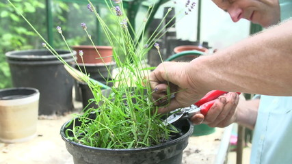 Slow Motion Shot Of Man Pruning Lavender Plant In Greenhouse