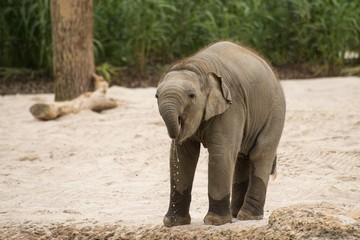 Kleiner Asiatischer Elefant
