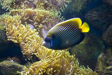 Fish-angel (fish-emperor) and actinia