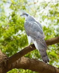 Goshawk on wood trunk
