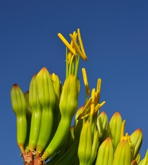 Floral buds and emergent stamens of agave flower