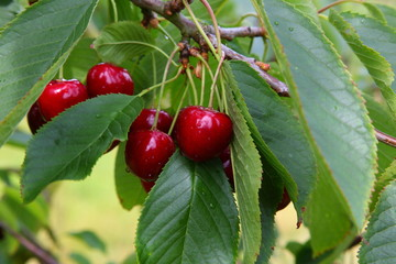 Kirschen - Cherries