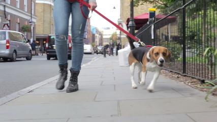 Dog Being Taken For Walk Along City Street
