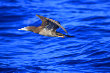 Brown Booby (Sula leucogaster) in Japan
