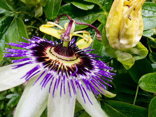 Side view of Passion Flower