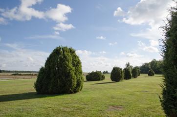 Common juniper plain field