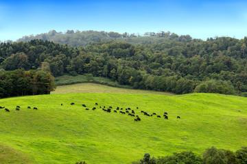 高原で草を食(は)む黒い牛たち