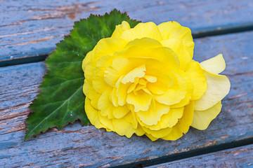 Garden Begonia flower