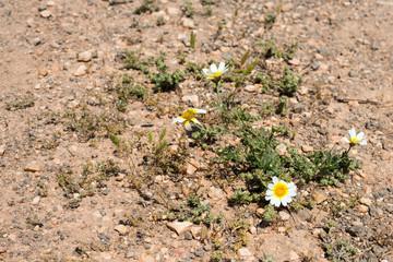 Daisy in Dirt